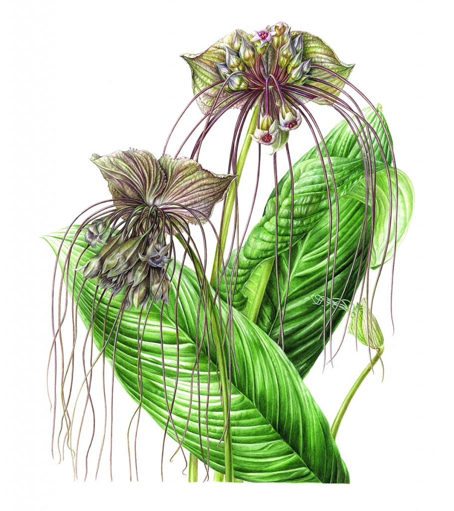 X.Enokido/Tacca chatriei small