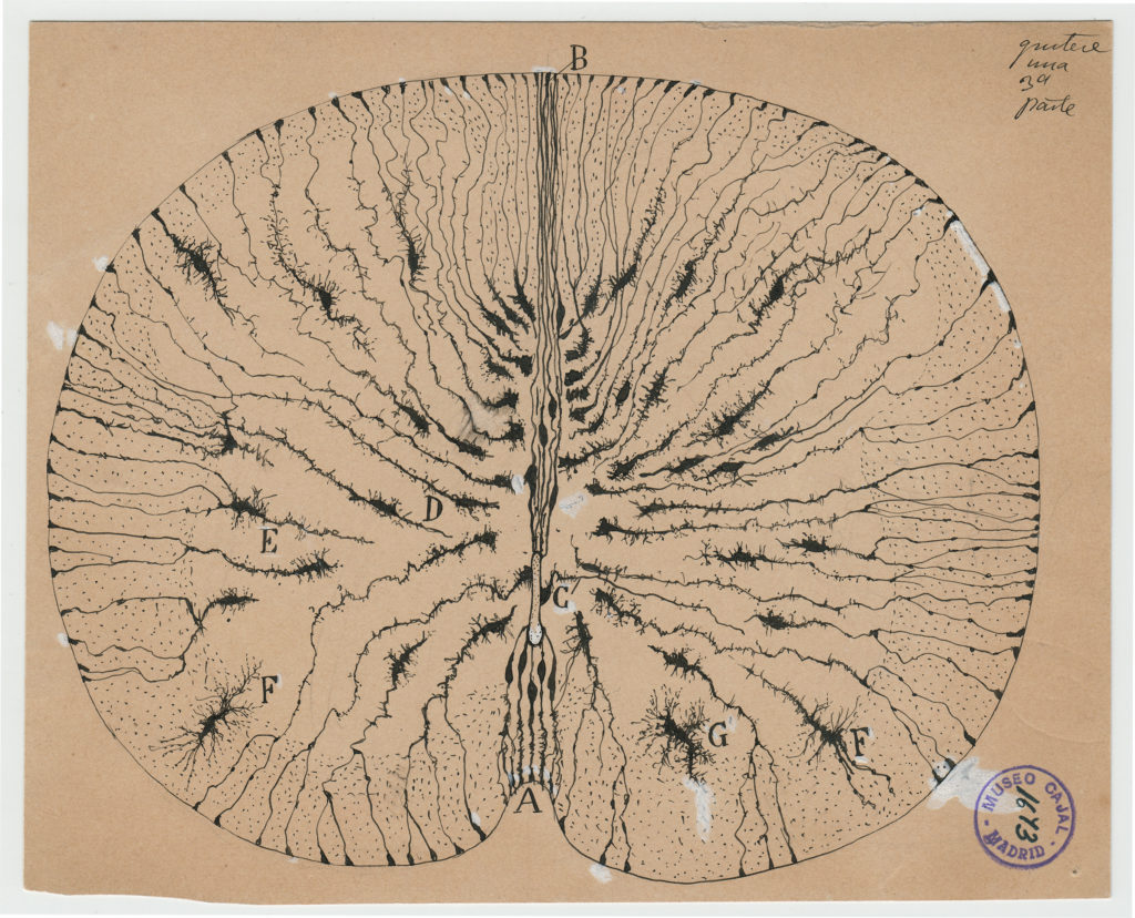 Santiago Ramón y Cajal, glial cells of the mouse spinal cord, 1899, ink and pencil on paper. Courtesy of Instituto Cajal (CSIC).