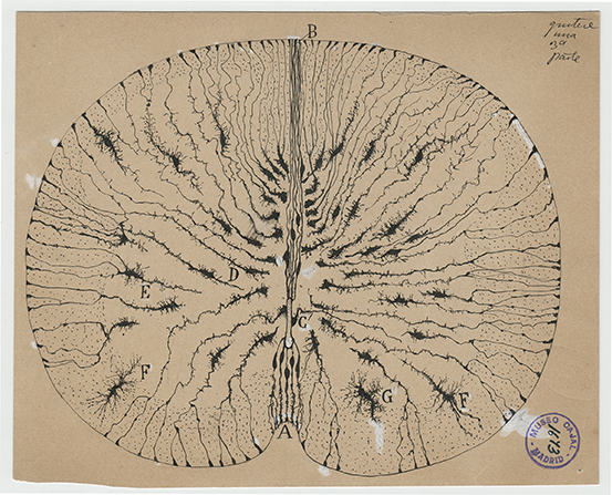 the beautiful brain the drawings of santiago ramn y cajal