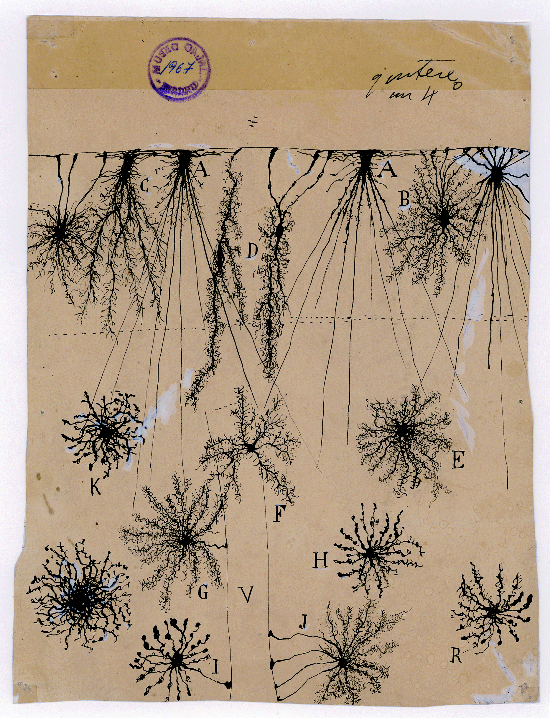 Santiago Ramón y Cajal, glial cells of the cerebral cortex of a child, 1904, ink and pencil on paper. Courtesy of Instituto Cajal (CSIC).