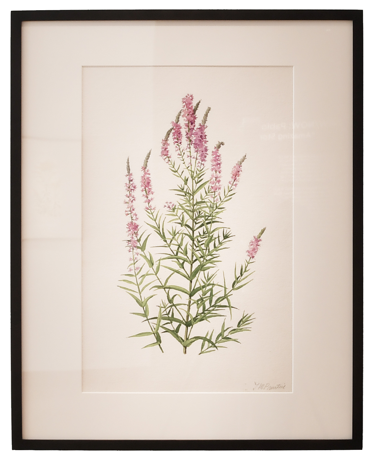 Purple Loosestrife 1971, Watercolor 1977.77.88.