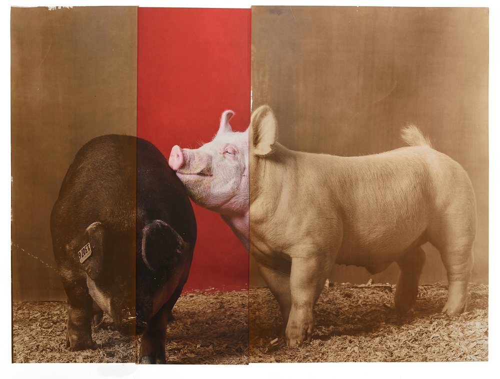 Supreme Champion Swine Male / Female Pair, 2018 Minnesota State Fair, salt print over archival pigment print, 20 x 24 inches, 2019