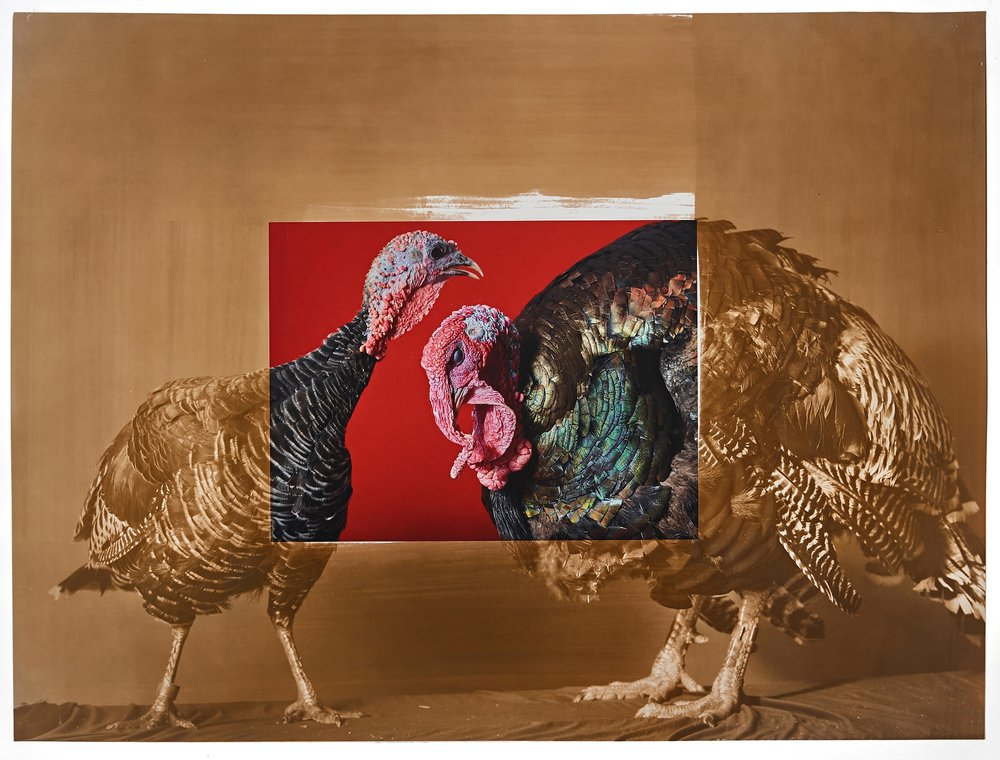 Supreme Champion Turkey Male / Female Pair, 2018 Minnesota State Fair, salt print over archival pigment print, 20 x 24 inches, 2019